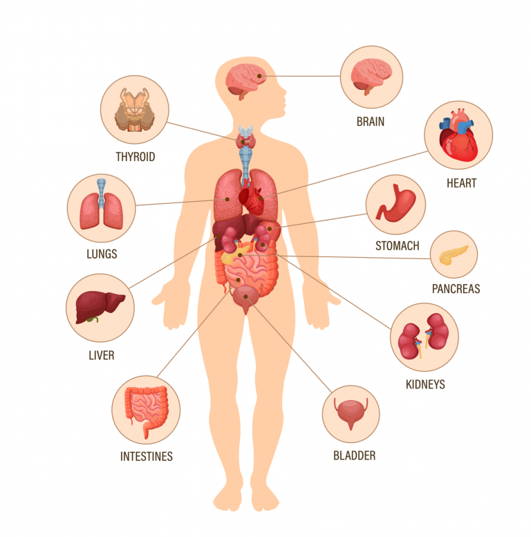 اعضاء الجسم الداخلية